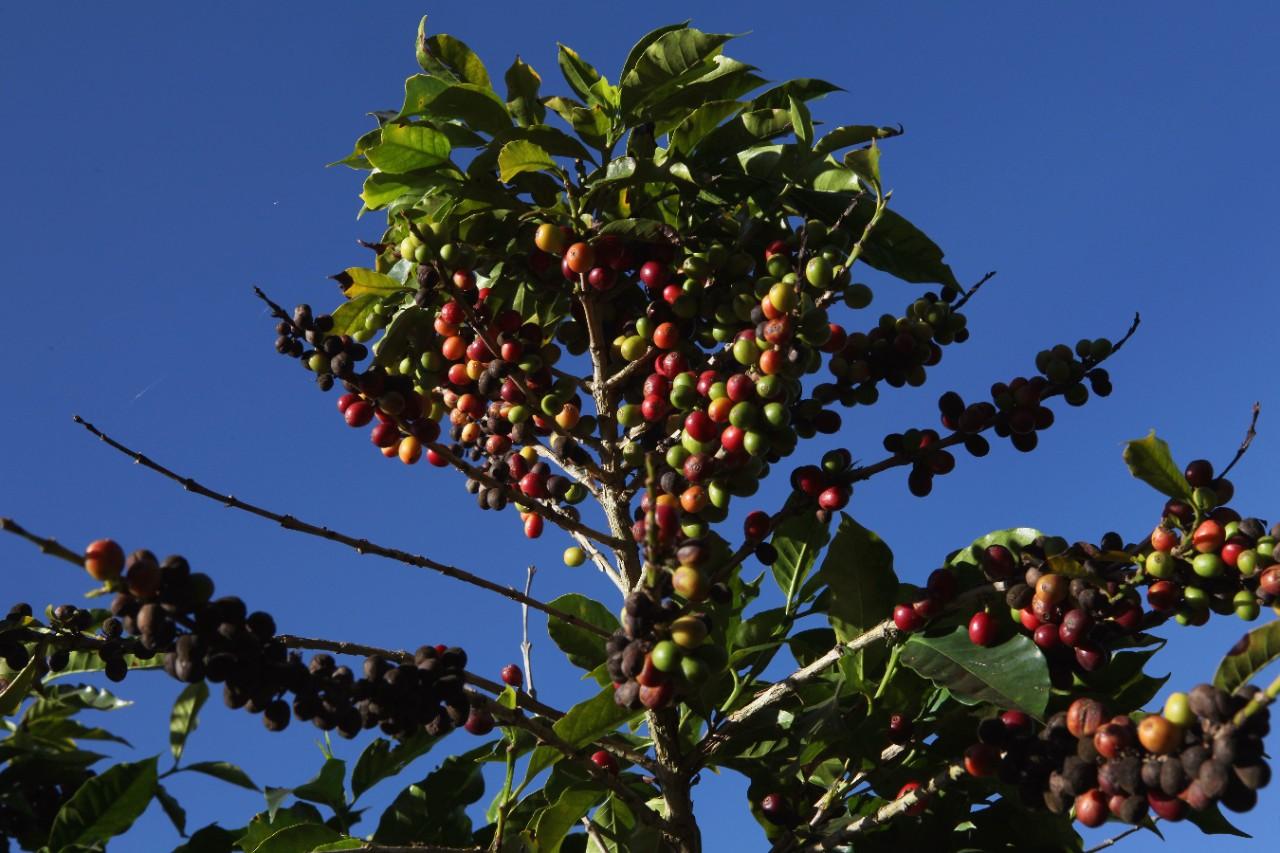 Картинки как растет кофе